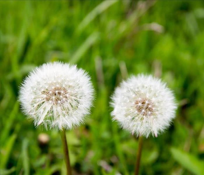 Mold Remediation Dandelions and Mold
